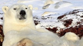 Lazy Polar Bear