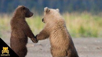Bear Cubs Conga Line