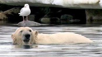 Polar Bear Does Handstand