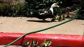 Good Samaritan Helps Ducklings Over Street Curb To Reach Mother Duck
