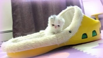 Low Birth Weight Kitten Is Tiny And Adorable