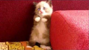 Tiny Kitten Is Scared Of Vacuum
