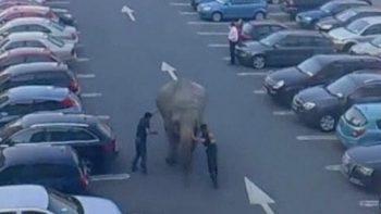 Elephant Escapes Circus In Ireland