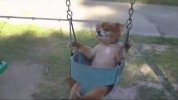 Dogs In Baby Swings Compilation