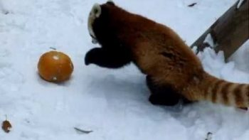 Red Panda Plays With Pumpkin In Snow