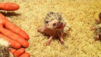 Cute Hedgehog Babies