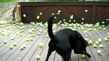 Dog Is Surprised By Hundreds Of Tennis Balls