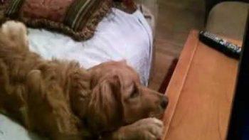 Dog Watches Marmaduke On TV