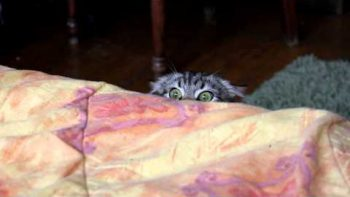 Evil Cat Spies Over Bed
