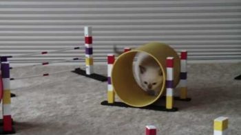 Tiny Kitten Training With Mini Obstacle Course