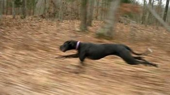 Great Dane Runs 30 MPH