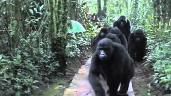 Researchers Have Close Encounter With Troop Of Gorilla In Uganda