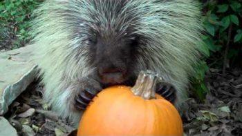 Porcupine Likes To Eat Pumpkin