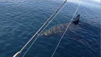 Huge Great White Shark Circles Fisher Boat