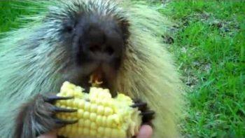 Porcupine Won't Share His Corn