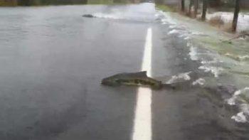 Salmon Swim Across Flooded Road