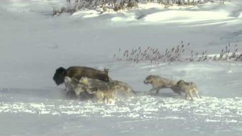Bison Herd Knocks Over Bison Under Wolf Attack