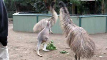 Girl Catches Emu Kangaroo Battle On Camera