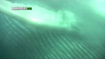 Blue Whale Swims Right By Tour Boat