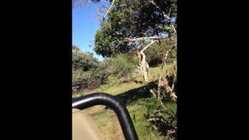 Giraffe Chases Jeep A La Jurassic Park