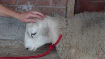 Sheep Thinks He Is A Sheep Dog