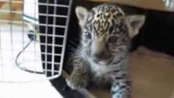 Baby Jaguar Roars