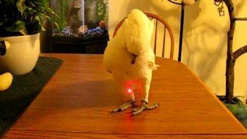 Bird Chases Laser Pointer
