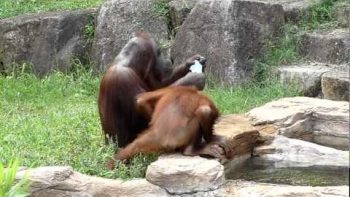 Orangutan Washes Like Human