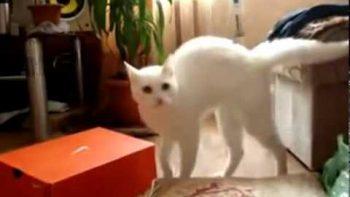 New Hunch-Cat Walks On Two Legs