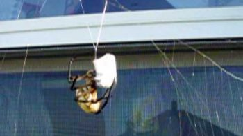 Spider Wraps Its Prey Amazingly Quickly