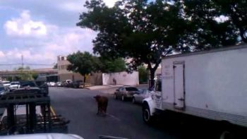 Cow Running Loose In Queens