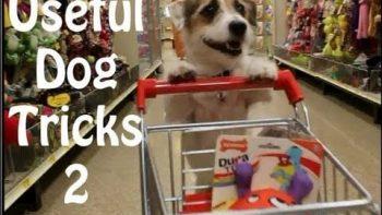 Jack Russel Terrier Does Very Useful Tricks