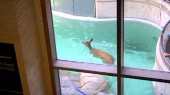 Deer Swimming In Seal Tank At Aquarium