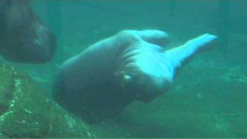 Baby Hippo Swimming Underwater Ballet