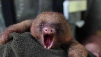 Baby Sloth Yawning And Sleeping