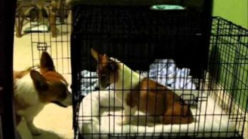 Dog Frees Fellow Corgi From Cage