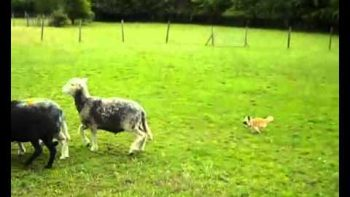 Small Chihuahua Herds Sheep
