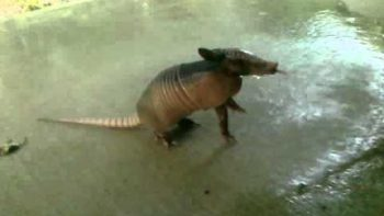 Thirsty Baby Armadillo Approaches Humans For Water In Texas
