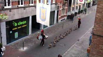 Duck Parade In Belgium