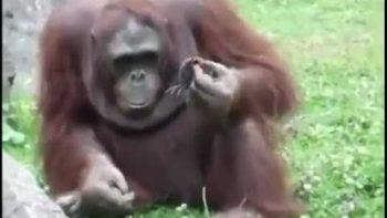 Orangutan Saves Baby Bird