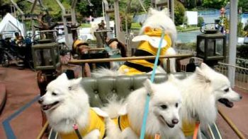 Dogs Dressed As Bumblebees On Merry Go Round