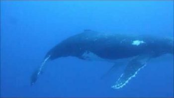 Divers Have Surprise Encounter With Humpback Whale