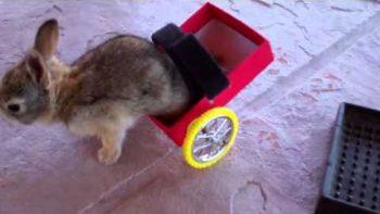 Bunny Rabbit Paraplegic Given Wheel Chair