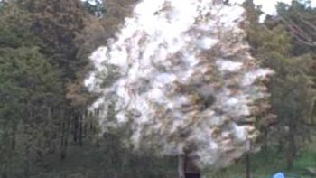 Pollen Cloud Bursts From Tree