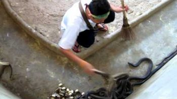 Cool Man Cleans Cobra Cage