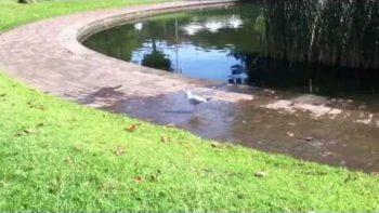Tap Dancing Seagull