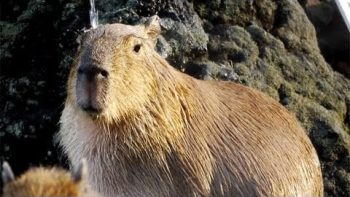 Capybara Takes Hot Shower