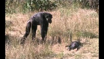 Mom Chimp Finds Her Dead Baby