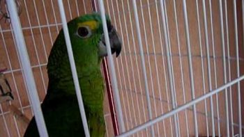 Parrot Sings Lady Gaga Paparazzi