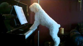 Dog Plays Piano, Sings Along